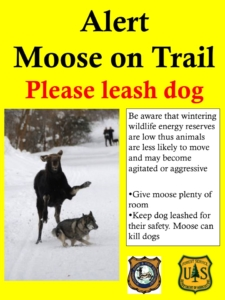Alert moose on trail