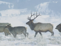 Video: Winter Wildlife in Bridger-Teton National Forest